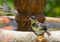 Male lesser goldfinch, Carduelis psaltria. On a backyard fountain in the Santa Cruz Mountains, California