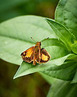 Broad Wing Skipper (?) Butterfly. Image taken with a Nikon 1 V3 camera and 70-300 mm lens