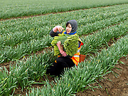 An Eastern European farm worker picking up bunches of daffodils in a field farmed by commercial bulb grower Walkers Bulbs At Taylors, Holbeach, Spalding, Lincolnshire