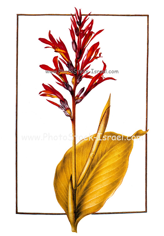 Canna indica, (Indian shot) 17th century hand painted on Parchment botany study of a from the Jardin du Roi botanical Florilegium of Prince Eugene of Savoy collection, Paris c. 1670 artist: Nicolas Robert