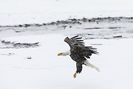 Bald Eagle (Haliaeetus leucocephalus) in flight searching for salmon in the Chilkat Bald Eagle Preserve in Southeast Alaska. Winter. Morning.\