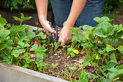 Tidying up strawberry plants afrter they have fruited. Cutting off old leaves