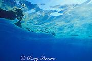 coral spawn slick floats on surface after mass spawning of Great Barrier Reef, N . Stradbroke Island, near Brisbane, Queensland, Australia ( Western Pacific Ocean )