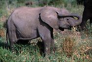 Baby elephant touching ear with trunk as if blocking it, Tarangire National Park, © David A. Ponton