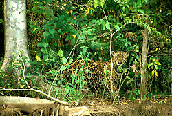 Brazil: Pantanal, mammal, jaguar, on Aquidauana River.  Photo: amazon101.Photo copyright Lee Foster, 510/549-2202, lee@fostertravel.com, www.fostertravel.com