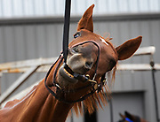 """Two-year-old gelding Myuddermamasapaint has been called """"a ham"""" and """"a goofball."""" (Ellen M. Banner / The Seattle Times)"""