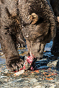 A large Grizzly bear boar rips apart a chum salmon caught in the upper McNeil River falls at the McNeil River State Game Sanctuary on the Kenai Peninsula, Alaska. Bears eat the skin first, then the row eggs before devouring the flesh of the salmon. The remote site is accessed only with a special permit and is the world's largest seasonal population of brown bears.