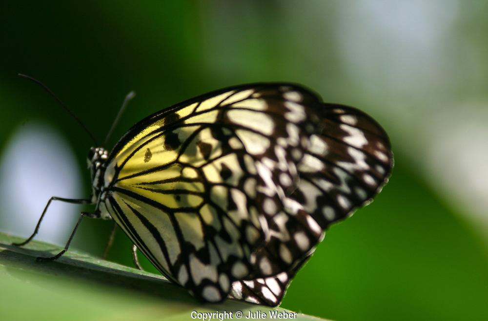 Idea Leuconoe -kite butterfly - rice paper butterfly