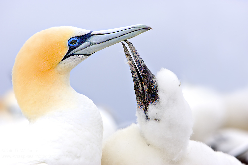 The gannet is a member of the Booby family which consists of tropical birds, and is related to the families of shags, pelicans, and frigate birds. There are three sub-species of gannet which are situated in the temperate regions of the world...Although the Australasian Gannet is the smallest of the three sub-species, adults have a wing-span of up to 2 m and an average weight of 2 kg. The average lifespan of the gannet which is estimated at between 25-40 years