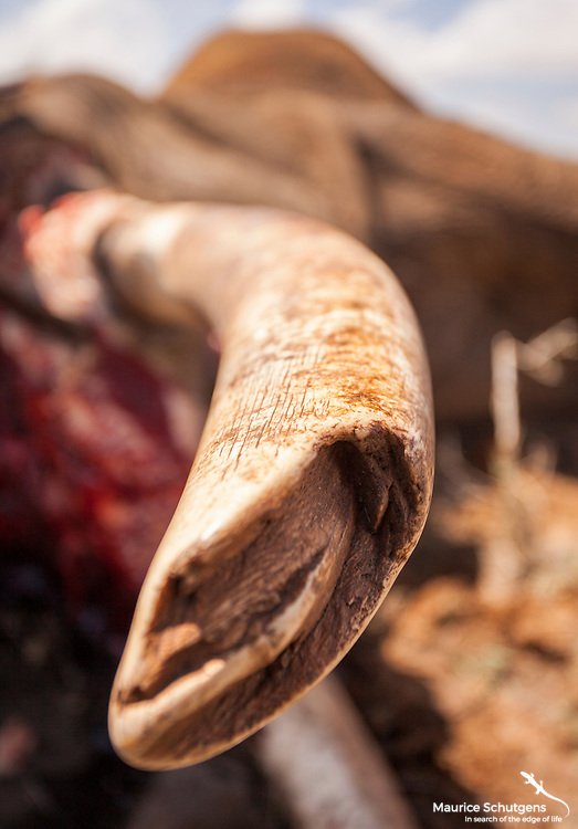 The tusks from a poached elephant in Laikipia.