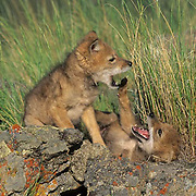 Coyote, (Canis latrans) Pair of pups fighting and playing. Spring. Rocky mountains. Montana.  Captive Animal.
