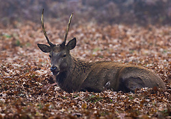 © Licensed to London News Pictures. 27/11/2020. London, UK. A deer rests in a carpet of autumnal leaves in Bushy Park, south west London. Parts of the UK are experiencing freezing weather and low temperatures. Photo credit: Peter Macdiarmid/LNP