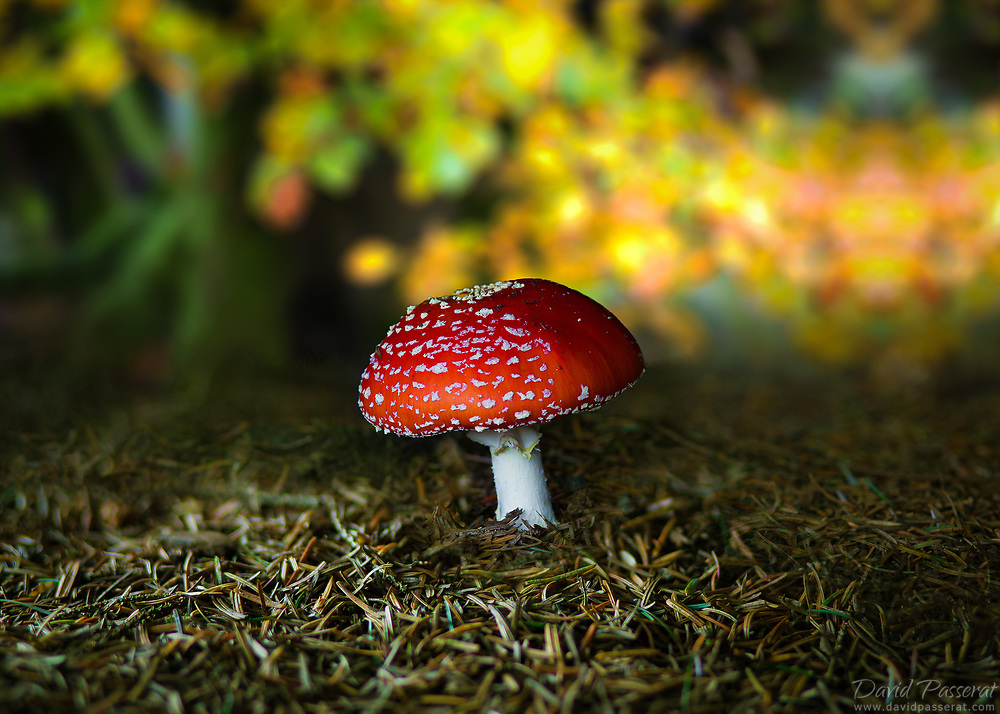 Fly agaric mushroom in the woods...
