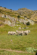 Lyttelton, New Zealand. Sheep grazing on Mount Pleasant
