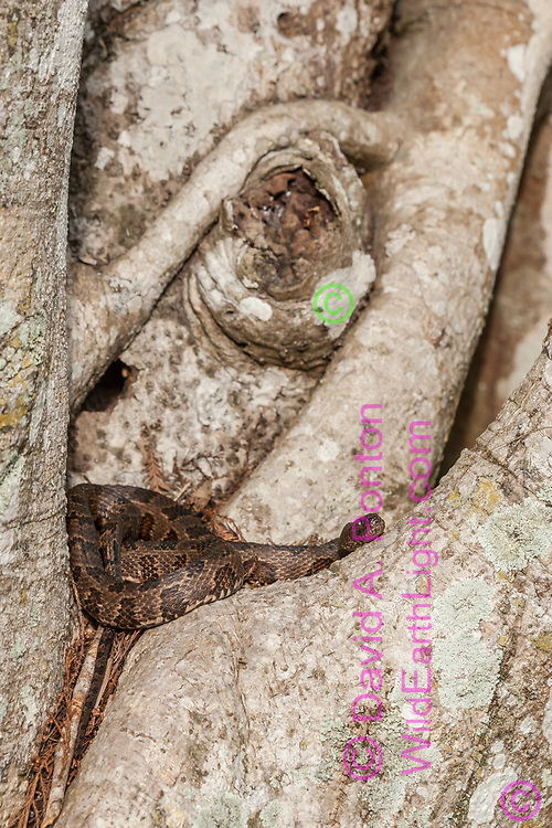 Brown water snake resting in a niche in a gnarly ficus tree trunk, Big Cypress National Preeserve, Florida, © David A. Ponton