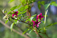Salmonberry (Rubus spectabilis) flowers in Campbell Valley Park - Langley, BC, Canada.