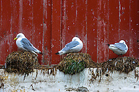 Norway, Lofoten. Å in Lofoten is traditionally a fishing village, with tourism as a growing income. Black-legged Kittiwakes are nesting wherever they can.