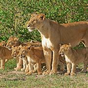 African Lion (Panthera leo) pride. Masai Mara National Reserve, Kenya, Africa
