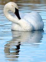 Trumpeter swan on Flat Creek