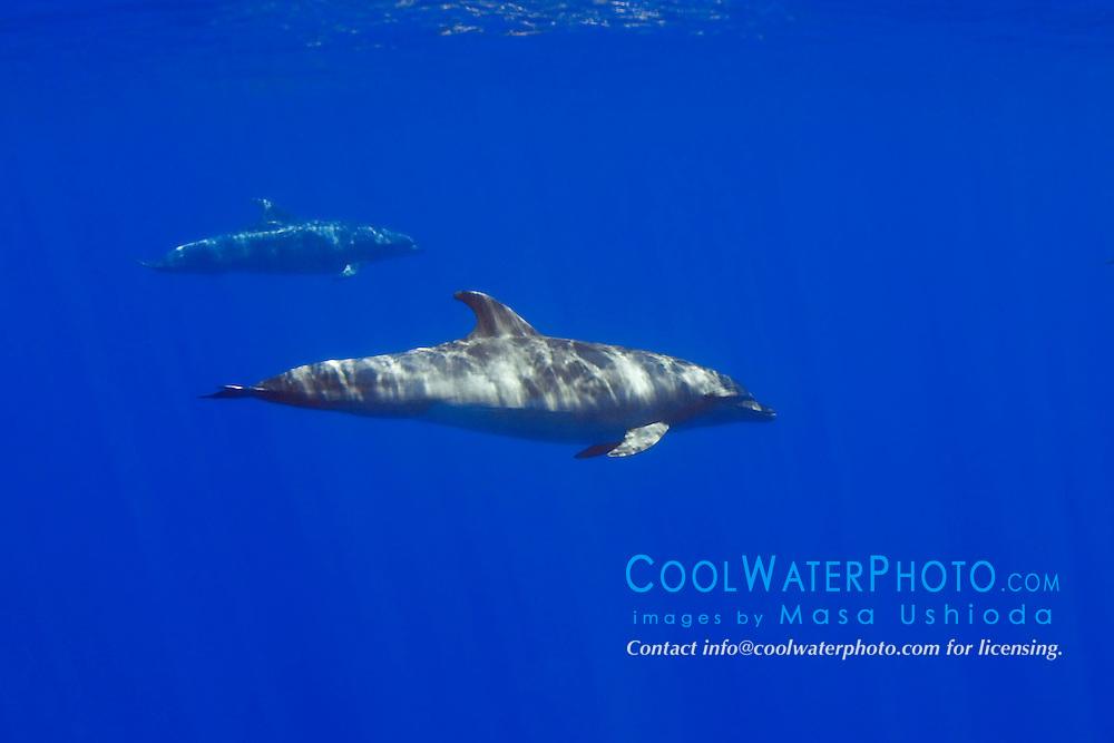 wild bottlenose dolphins, Tursiops truncatus, off Kona Coast, Big Island, Hawaii, Pacific Ocean.