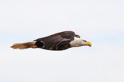 With its legs tucked closely under the tail, this eagle is presently streamlined for some quick speed. Flying level like this, the eagle can reach speeds of 30-35 miles per hour.