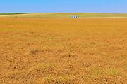 Field of oats<br /> Beverley<br /> Saskatchewan<br /> Canada