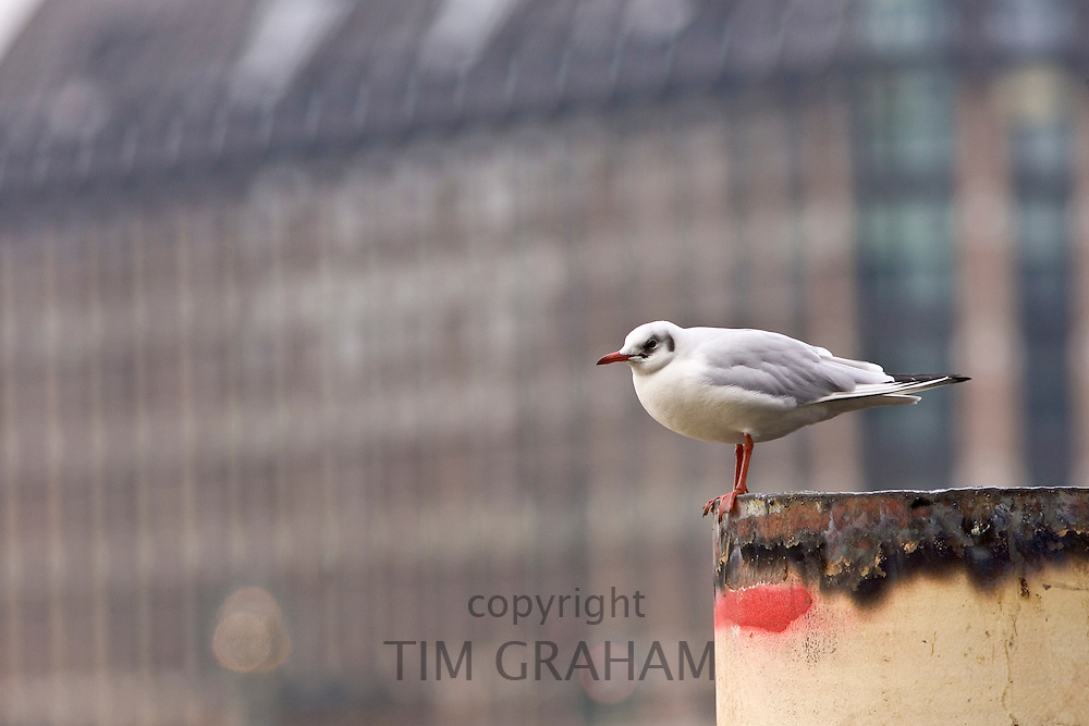 Gull perched on a ship moored on the River Thames, London, United Kingdom. Feral birds may be at risk from Avian Flu (Bird Flu Virus)