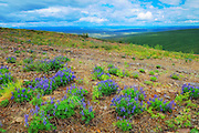 Lupines at Ogilvie Summit (KM 259) on the Dempster Highway<br /> Dempster Highway<br /> Yukon<br /> Canada