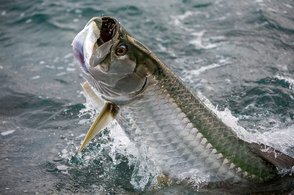 A Tarpon, Megalops atlanticus, hooked by a sport fisherman, leaps before being released in the Palm Beach Inlet, Palm Beach County, Florida, United States.