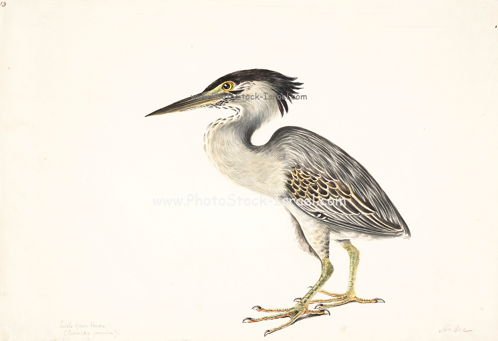 The striated heron (Butorides striata) also known as mangrove heron, little heron or green-backed heron, is a small heron, about 44 cm tall. Striated herons are mostly non-migratory and noted for some interesting behavioral traits. Their breeding habitat is small wetlands in the Old World tropics from west Africa to Japan and Australia, and in South America. 18th century watercolor painting by Elizabeth Gwillim. Lady Elizabeth Symonds Gwillim (21 April 1763 – 21 December 1807) was an artist married to Sir Henry Gwillim, Puisne Judge at the Madras high court until 1808. Lady Gwillim painted a series of about 200 watercolours of Indian birds. Produced about 20 years before John James Audubon, her work has been acclaimed for its accuracy and natural postures as they were drawn from observations of the birds in life. She also painted fishes and flowers. McGill University Library and Archives