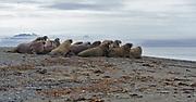Colony of whaleruses at Poolepynten, Prins Karls Forland, Svalbard.