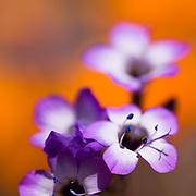 close-up of purple wild flowers with orange background.