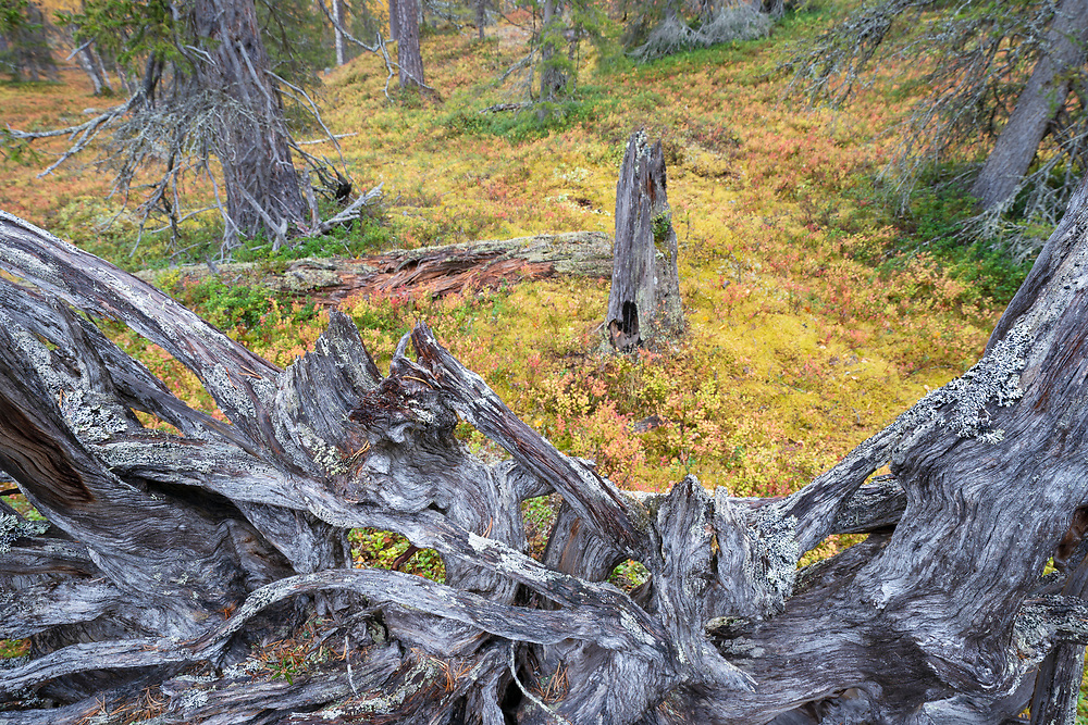 Tree trunk slowly dissolving. This could have lied tyhere for several 100 years, Old-growth pine forest, Muddus National Park, Laponia Unesco World Heritage Site, Norrbotten, Lapland, Sweden