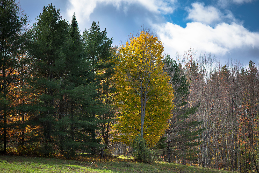 The Fall foliage colours of Maple tree at Stowe in Vermont, New England, USA