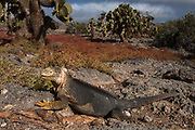 Land Iguana (Conolophus subcristatus) & Giant Prickly Pear Cactus (Opuntia echios) on South Plaza Island.<br /> Galapagos Islands<br /> ECUADOR.  South America<br /> One of two endemic species of these large, yellow lizards found in the islands.  <br /> Conolophus subcristatus lives on six of the islands. (Fernandina, Isabela, Santa Cruz, South Plaza, Baltra and Seymour) They are vegetarian and eat mostly Opuntia cactus. However it has been reported that they will eat carrion if available. <br /> South Plazas is part of the Arid Zone<br /> Opuntia are one of the most distinctive Galapagos plants. The development of the tree form was due to competition of other cactus seedlings for light as well as grazing pressure from giant tortoises. They have spines on their trunks to prevent herbivores from eating them as well as to consense water.