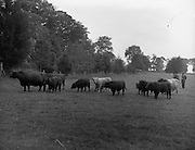 11/08/1959<br /> 08/11/1959<br /> 11 August 1959<br /> Pedigree Bulls and Heifers for Coras Trachtala. Shorthorn group owned by  J.F. (F.J.?) Wright, Prumplestown, Castledermot, Co. Kildare.