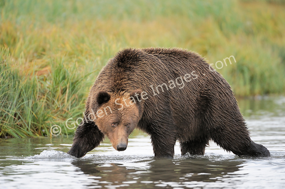 Stalking a group of wary Silver Salmon.    <br /> <br /> Brown Bears and Grizzly Bears are the same species. In general Bears living within 50 miles of the coast are considered browns. Animals living further inland are considered Grizzlies.  <br /> <br /> Grizzlies are omnivores feeding on a variety of plants berries roots and grasses in addition to fish insects and small mammals. Salmon are a key part of their diet. Normally a solitary animal they will congregate along streams and rivers during Salmon runs. Weight to over 1200 pounds.    <br />  <br /> Range: Native to Asia Africa Europe and North America. Now extinct in much of their original range.    <br />   <br /> Species: Ursus arctos