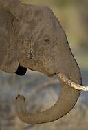 African elephant, Loxodonta africana, Tarangire NP, Tanzania