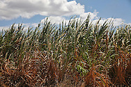 A sugar cane field growing on the island of Maui almost ready for harvest.
