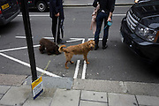 Pet dogs wait with their owners to cross the street in front of a 4x4 Range Rover and near a Don't Dump sign. Turning to look at the viewer, the lighter shaded brown dog on unknown breed, is held on its leash as a woman pauses to check passing traffic outside the Royal Academy in London's Westminster. The sign actually refers to the dropping of litter in the capital's streets but echoes both the habit of owners to sometimes allowing their animals to foul the pavements - but also rhyming with the yellow number plate on the car top left.
