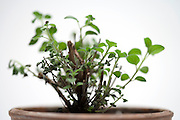sprouting tender Italian Oregano