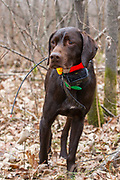 John Zeman's German Shorthair, Willy, on point while hunting pheasants on a Minnesota public hunting area.