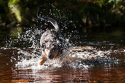 A four Year Old Mongrel Mixed Breed dog splashes in the river South of Crookland Wood on the edge of the Peak National Park<br /> <br /> 07 October 2012.<br /> Image © Paul David Drabble