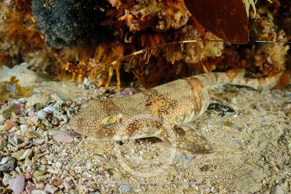 Haploblepharus edwardsii, Puffotter Katzenhai, Puffadder shyshark, False Bay, Simons Town, Südafrika, Indischer Ocean, False bay, Simons Town, South Africa, Indian Ocean