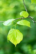 Beech tree deciduous leaves - Fagus - in late Spring / early Summer in the Gloucestershire Cotswolds, UK