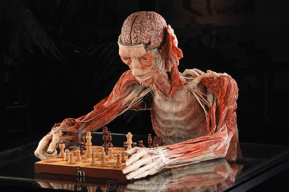 """""""The Chess Player"""", a piece from Gunther von Hagens' Body Worlds exhibits. Body Worlds is a traveling exhibit of real, plastinated human bodies and body parts. Von Hagens invented plastination as a way to preserve body tissue and is the creator of the Body Worlds exhibits.."""