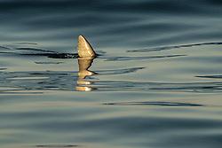 The dorsal fin of a Mako Shark, Isurus oxyrinchus, slices through  a glassy ocean surface. Long Beach, California, Pacific Ocean
