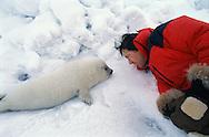 Newborn Harp Seal pup, Pagophilus groenlandicus, White sea, Russia