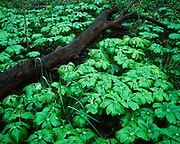 Forest floor covered with May-Apples, Podophyllum peltatum, in spring, St. Francis National Forest, Arkansas.