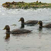 Flightless Steamer Ducks swim near a beach on New Island, in Britain's Falkland Islands.